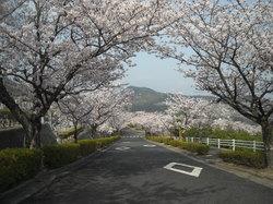 平和霊園 桜のサムネール画像